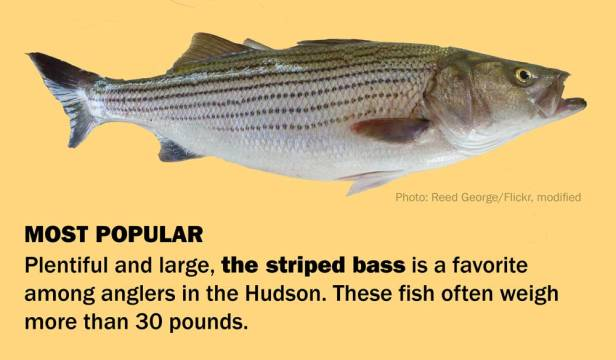 HudsonRiverbass