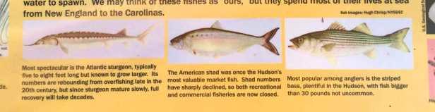 HudsonRiverfish